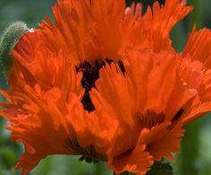 Oriental Poppy - Nancy Christensen Poppy Photography, Macro Photography, Custom Framing, Perennials, Poppies, Online Printing, Oriental, Framed Prints, Popular