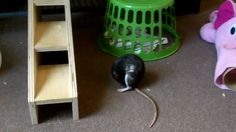 What To Look For When Choosing A Rat