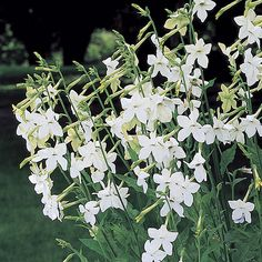 Nicotiana alata or Jasmine tobacco.  To plant, not to smoke -- it has a beautiful fragrance and pure white flowers for the moon garden.
