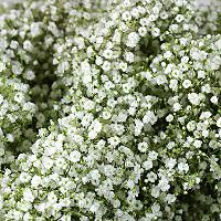 Six bunches of Million Star/Baby's Breath for $55 from Sams Club... thinking this for the centerpieces and as garnish for the bouquets.