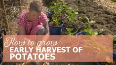 How to get an early harvest of potatoes, how to grow potatoes in buckets, how to grow potatoes on a balcony, how to grow potatoes if you have limited space, early spring harvest Growing Veggies, Harvest Season, Early Spring, Grow Potatoes, How To Become, Herbs, Buckets, Acre, Balcony