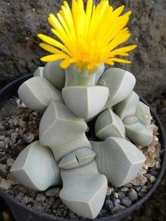 Suculenta que parece piedra <3 #suculentas