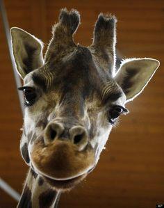 Nora, a Rothschild giraffe, stares at the camera at Prague Zoo in Prague, Czech Republic, Friday, Feb. 17, 2012. (AP Photo/Petr David Josek)