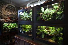 Cage Pictures in Morelia Viridis Forum, Green Tree Python Forum, Chondro Forum Forum