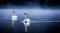 size: Photographic Print: Mute Swans, Cygnus Olor, Swimming in the Morning Mist by Alex Saberi : Cygnus Olor, Swan Pictures, Mute Swan, Beautiful Swan, Richmond Park, Photographer Portfolio, Tier Fotos, Mundo Animal, Woodland Creatures