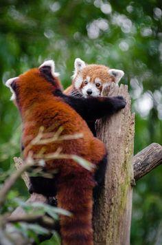 Imagem gratis no Pixabay - Pandas Vermelhos, Reunião, Casal