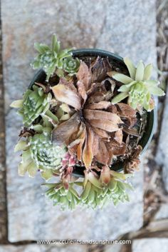 The hen of hens and chicks succulents will die after the produce quite a few…