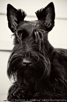 Hello There - Scottish Terrier Greeting Card - fine art photograph