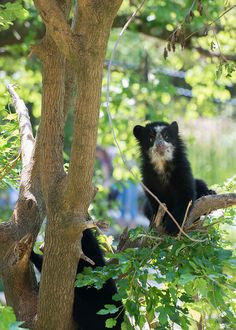 Andean Bear Cubs at the Smithsonians National Zoo