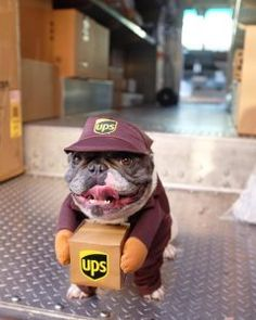 """Fantastic """"bulldog puppies"""" info is offered on our site. French Bulldog Halloween Costumes, French Bulldog Costume, Cute Baby Animals, Funny Animals, Farm Animals, Funny Dogs, Cute Dogs, Costume Chien, Chien Halloween"""