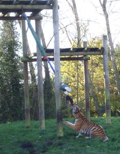 horse tail on tiger bungee