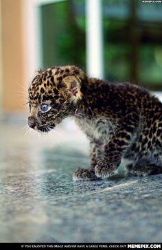 I've got it dad........................................Baby Jaguar