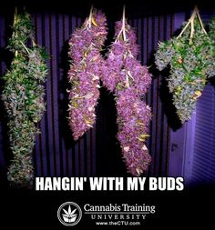 Looking to start a career in cannabis? Get certified at the premier cannabis certification program! Cannabis Training University is the most affordable and informative cannabis college in the world. Learn how to grow weed from cannabis cup winning growers. Anyone can enroll from anywhere. Learn on your own schedule, any time, day or night. No prior experience or education required. The leading marijuana school is CTU! Over 100 cannabis videos, and 50 cannabis e-books, all for one low price.