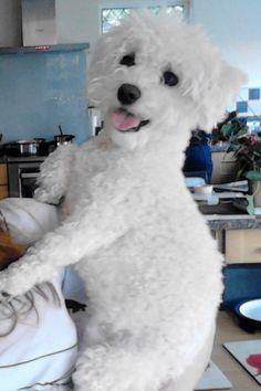 Bichon frise pup