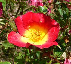 This rose is a climber! Rosa 'Cocktail'. Another beauty from Meilland.