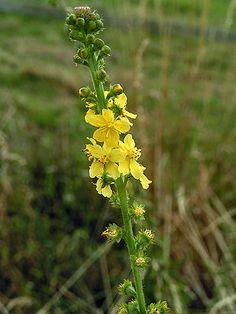 Gewöhnlicher Odermennig (Agrimonia eupatoria)