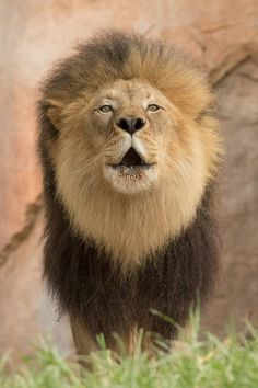 M'bari from the San Diego Zoo has a message for Izu. There's a new king in town--temporarily. M'bari & Etosha are vacationing at Lion Camp while their home is being improved. (Photo by Todd Lahman)