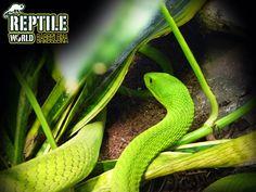 serpiente. Mamba verde