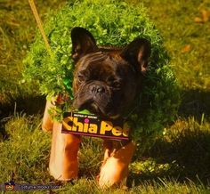 Gina: Miles is our 4 year old French Bulldog. He is dressed as a Chia Pet! We put him in an infant shirt that was a terracotta color for the legs....