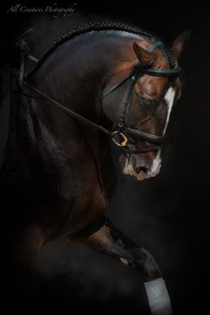 Alter- Spanish stallion under saddle by melinda brown on 500px