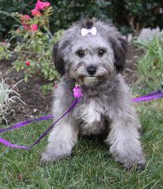 I fostered Lolipop in 2014.  Meet LOLLIPOP, a Petfinder adoptable Havanese Dog   Newport Beach, CA   ~ ADOPTION PENDING ~You may meet and apply to adopt Lollipop at our ADOPTION EVENT on SATURDAY,...