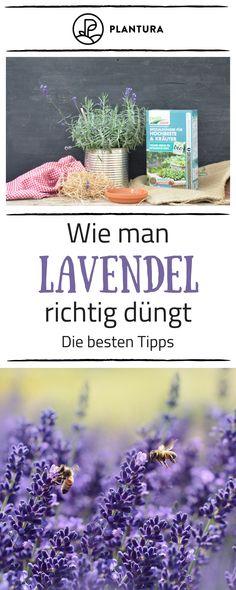 Lavendel Ist In Fast Jedem Garten Zu Finden, Doch Nicht überall Blüht Er  Prächtig.