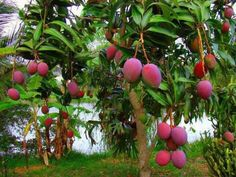 Mango Fruits