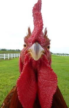 That is a terrifying view of a rooster. When they get this close, they're up to no good.