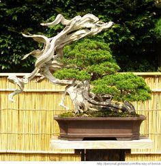 """Shinpaku(""The Dance"")"" by Masahiko Kimura Bonsai Plants, Bonsai Trees, Juniper Bonsai, Single Tree, Miniature Plants, Tropical Flowers, Live Plants, Garden Inspiration, Garden Sculpture"