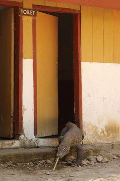 A lizard crawls out of a bathroom like he owns the place. (Caroline Tout/Barcroft Media)
