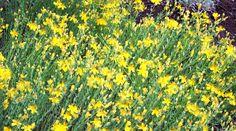 Dziurawiec – skuteczna pomoc w wielu dolegliwościach http://www.zdrowiezwyboru.pl/dziurawiec