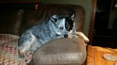 My Randi resting on couch. Blue heelers love them.