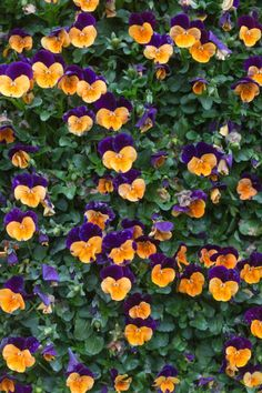pansy flower background