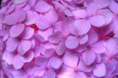 Image of Pink | e-kamakura archives - photographer living in Kamakura to introduce ...