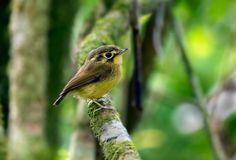 fairy-wren:  (via 500px / White-throated Spadebill- (Platyrinchus mystaceus) by Thiago Silva)