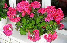 Герань широко распространена в наших домах. Иногда мы слишком пренебрежительно относимся к этому замечательному цветку. Но ведь помимо некоторых полезных свойств, как для здоровья человека, так и для жилища, герань при правильном уходе может превратиться в красивейшее украшение вашего дома! Она буде