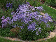 Aster, Perennials, Twilight, Period, Garden, Flowers, Plants, Single Flowers, White Flowers