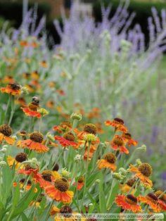 Helenium 'Mardi Gras' - Früchte im Garten Prairie Planting, Prairie Garden, Plant Design, Garden Design, Horticulture, Mardi Gras, Herbaceous Perennials, Interior Garden, Interior Design
