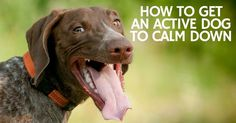 How to get an active dog to calm down