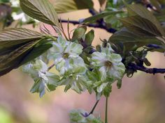緑色の桜、御衣黄を見に行こう【弥彦神社:新潟県】