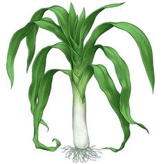 growing leeks in your organic garden. Learn how to plant, harvest and propogate the various types of leeks.Try growing leeks in your organic garden. Learn how to plant, harvest and propogate the various types of leeks. Image Fruit, Organic Insecticide, Growing Veggies, Growing Onions, Mother Earth News, Garden Guide, Garden Ideas, Organic Gardening Tips, Gardening Hacks