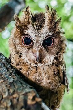 Zoo Praha has managed to parent-rear a Philippine Scops Owl chick.