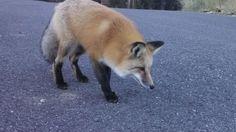 Big Sky Red Fox