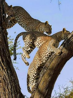 A leap of leopards at MalaMala game Reserve in South Africa by Max Waugh Photography