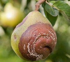 Плодова гниль – загроза багатому врожаю 🌱🍎🍐🍏🍒🍑👨🌾 #плодовагниль #гниль #зерняткові #кісточкові #сад #хвороба #дерево #врожай Pear, Fruit, Food, Essen, Meals, Yemek, Eten, Bulb