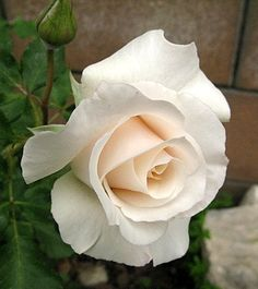 French Lace Rose ( my favorite color! Cream Roses, White Roses, White Flowers, Beautiful Roses, Beautiful Flowers, Simply Beautiful, Comment Planter Des Roses, Eye Cream Reviews, Hearts And Roses