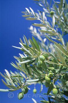 Olives on an Olive Tree, Jaen, Spain