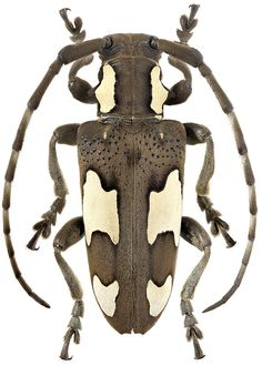 Beetle Insect, Beetle Bug, Insect Art, Zoo 2, Insect Orders, Longhorn Beetle, Bug Art, Beautiful Bugs, Bugs And Insects