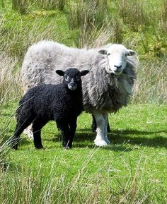 Herdwick Breed - The Herdwick sheep are native to the region of North West England known as the Lake District and are found mainly within the Lake District National Park in Cumbria.  Photo courtesy of David  Stephenson