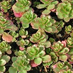 Yellow-green leaves, low grower in summer. Nice fall and winter color. Grows in neat colonies. Zone 5. Shop online. Free Shipping on orders over $75.
